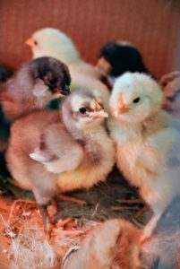 These chicks all have clear eyes and are very alert – signs of good health.