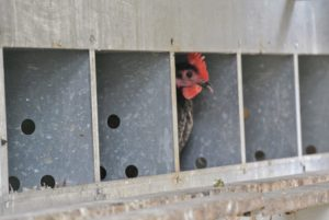 I've always had enough egg-laying hens to provide me and my family with fresh, nutritious, organic eggs all through the year. Here is a hen in her nesting box waiting to lay her egg for the day.