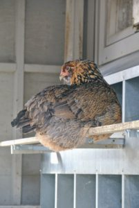 I vowed to always have my own coops where I could keep happy, healthy and beautiful birds. This hen is also in the coop, resting on a perch and watching all the outdoor activity through the doorway.