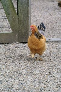 Chickens are not difficult to keep, but it does take time, commitment and a good understanding of animal husbandry to do it well.