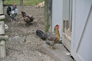 Another hen walks into the coop, perhaps to lay an egg. When laying, hens appreciate privacy.