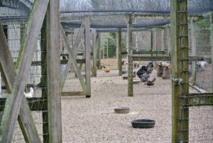Once the chicks are about five weeks old, they will be moved to a bigger enclosure down at the chicken coops where they can have access to some outdoor space. I have several coops that are locked tight at night to keep predators out. The top is also netted, making the chicken area very, very safe.