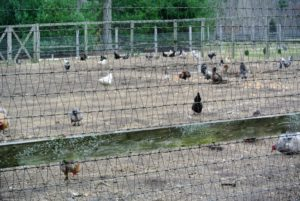 During this time of year I open the adjacent vegetable gardens to the chickens, so they can fertilize the soil. Chickens provide a tremendous nitrogen source to the area, They love this area and alway do a great job turning the soil, and eliminating the weeds.