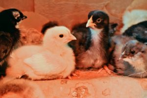 Baby chicks need constant monitoring until they are at least a month old. Dawa checks on them several times a day, and will continue to do so for the next few weeks.