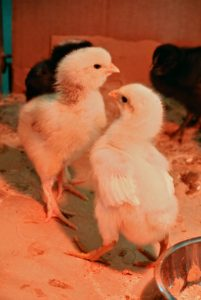 These chicks love playing and interacting with each other as well. These two were also pecking at each other playfully.