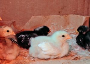 Here is a Salmon Faverolle chick resting. I am so happy with this group of babies – they are all strong good eaters, and will be a great addition to my flock.