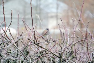 The birds love keeping watch from my various trees and shrubs - this bird is perched on one of the apple trees in the espalier near the feeders.