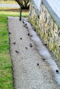 Many birds also eat the seeds that fall to the ground below the feeders.