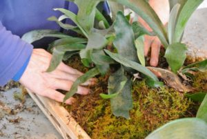 Ryan packs it in tightly to secure the staghorn and to fill the crevices of the frame. The idea is to make sure the plant, frame and moss are making good contact. Eventually the shield fronds will grow and cover the base of the staghorn fern and help the plant attach to its home.