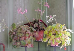 To the right of my foyer is my green parlor. It looks so inviting decorated with container plants. Here is a trio of begonias. Rhizomatous begonia flowers bloom in late winter to early spring and can range from shades of pink blush to bright white.