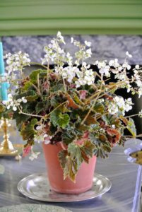 On a table in this parlor, Ryan placed another begonia. Begonias are remarkably resistant to pests primarily because their leaves are rich in oxalic acid – a natural insect repellent.