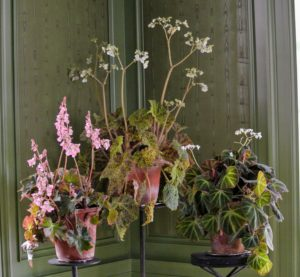 A similar trio of plants is in another corner – all sitting on antique cast-iron pedestals. Begonias are considered cool temperature plants and will do best in temperatures ranging from 58 to 72 degrees Fahrenheit.