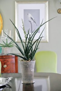 Sansevieria cylindrica or the cylindrical snake plant is a succulent native to Angola. It has striped, rounded leaves that are smooth and green to gray in color.