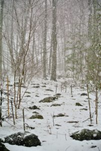 Through the woodland, the tops of stones are still visible, but the snow is beginning to fall more furiously.