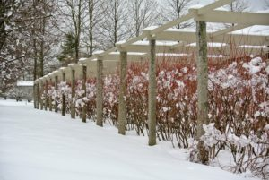 Here is a bit of color to add to the white winter landscape - my blueberry purgola. I have many varieties of blueberries planted here. Blueberries are partially self-fertile, which means planting two or more varieties will yield more berries and extend the harvest season.