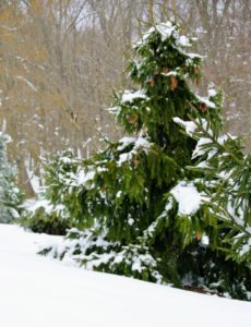 Snow weighs down the lower branches of this tree in my pinetum. I love this area of the farm. Tucked away behind my Equipment Barn, the pinetum is filled with pine trees and other conifers.