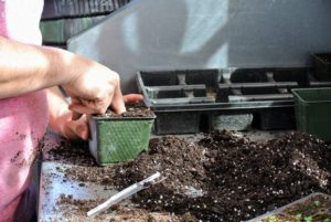 Here is Wilmer preparing to transplant a seedling that's outgrown its tray. He uses his finger to create a hole in the pot - the end of a thick marker pen can also be used.