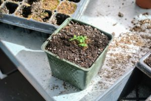 The growing seedling will remain in the new larger pot or cell tray until it is ready to plant into the ground.