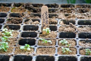 Once selective thinning is complete, there should only be one seedling in each cell of the seed starting tray or container.