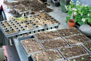Smaller seedlings can go in slightly larger cell trays.