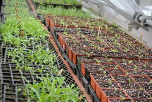 Once seedlings are transferred, they're given a good drink of water and returned to the greenhouse to continue growing.