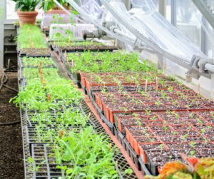 Here is another section of the greenhouse where the plastic domes have already been removed. These plants are ready for the next phase - transplanting. Have you started your plants from seed this year? Let me know what kinds and how they're doing in the comments section below.