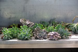 I love this selection of succulents - the colors will look so beautiful combined in one vessel.