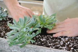 Ryan carefully begins planting the echeveria into the planter box. The Echeveria succulent plant is slow growing and usually doesn't exceed 12-inches in height or spread.