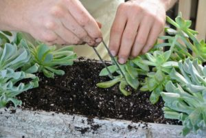 He gently inserts the staple at the bottom of the plant to keep it more secure until it is firmly rooted.