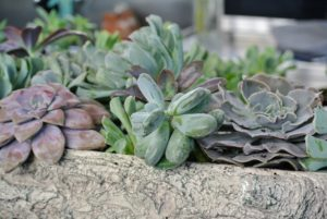 The Echeveria requires very little water to survive - these will be watered about once a week.