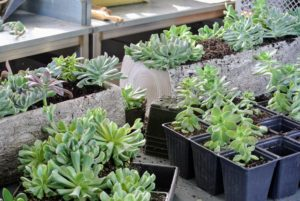 Many of these echeveria specimens were propagated right here in my greenhouse from other cuttings.