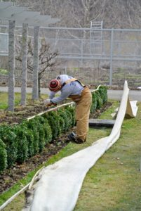 Here's Chhiring at the winding cleamtis pergola removing the burlap covers from the row of young boxwood.