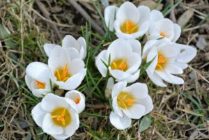 Here are some white crocuses. They only reach about two to four inches tall, but they naturalize easily, meaning they spread and come back year after year. It is so nice to see all the spring flowers.