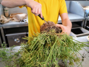 And then using a knife, loosens the plant rootball. it is important to loosen the roots before planting. This helps the plant absorb moisture in its new environment and also makes it easier for the plant to adapt to the new surface.