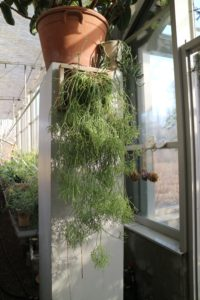Ryan mounted another to put on the oppsite pillar. Surprisingly, growing Rhipsalis requires shade to partial shade. While most cacti are found in hot, sunny, arid zones, mistletoe cactus is unique in its requirements for moisture and dim light - just keep an eye on it and move to a window if it loses its perkiness. Well cared for, these pencil thin succulent stems may reach six-feet in length.
