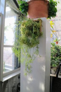 Finally, using a strong piece of wire, the plant and frame are hung on this pillar at the entrance to my greenhouse. There are some 60-different species of rhipsalis, most of which grow on tree trunks. Its jungle origins make it one of the better air-purifying plants for the home according to research by NASA.