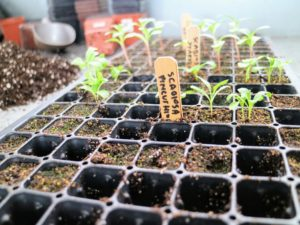 "When the seedlings are a couple inches tall, and have reached their ""true leaf"" stage, which is when each seedling has sprouted a second set of leaves, it's time for a process called selective thinning."