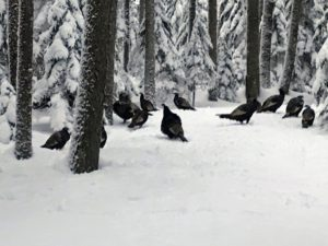 Here is a group of wild turkeys. The wild turkey is North America's largest upland game bird. An adult tom can weigh up to 20-pounds.