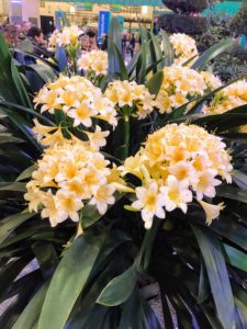 This plant is called a Clivia or better known as a bush lily, and is a variety of flowering plant. Clivia plants are native to South Africa and have become quite popular with collectors.