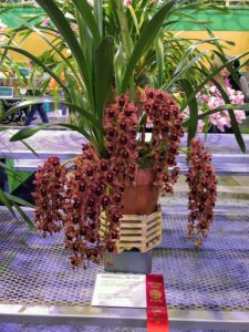 This Cymbidium or 'boat' orchid took home a second prize ribbon. These orchids are often used in cut flower displays as well as in corsages. The flowers are usually large in size and display a patterned lip. The blooms can last anywhere from eight to 10 weeks and come in almost all colors except blue.