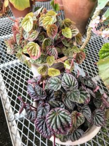 I led the group to my main greenhouse where we saw begonias and this peperomia.
