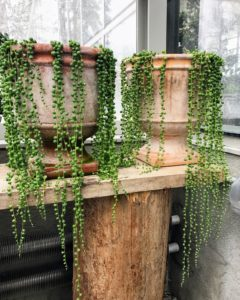 Have you seen these plants on Kevin's Instagram page @Seenby Sharkey? Senecio rowleyanus, commonly known as string-of-pearls or string-of-beads, is a creeping, perennial, succulent vine belonging to the family Asteraceae.