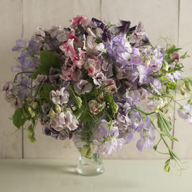 Among the varieties we planted was this Spencer Ripple Formula Mix. These flowers have uniquely ruffled, bicolor petals. Displayed alone or mixed with solid color varieties in bouquets, they are simply gorgeous and one of the most fragrant sweet pea varieties. (Photo provided by Johnny's Selected Seeds)
