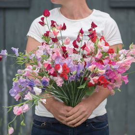 This is called Johnny's Elegance Formula Mix. This variety was developed for flowering under short days, low light conditions, and in cool greenhouses. This mix produces long stems of three to five blooms in seven shades of red, four shades of pink, two shades of purple, as well as blue and white. (Photo provided by Johnny's Selected Seeds)