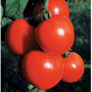 'New Girl' tomatoes are smaller - about six-ounces. (Photo from Johnny's Selected Seeds)