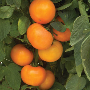 This is 'BHN 871' - they are such attractive golden-orange tomatoes. (Photo from Johnny's Selected Seeds)
