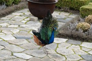 Up by the Winter House, my two male peacocks wandered all the way to the terrace parterre to greet my visitors and show off their gorgeous feathers.