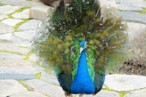 These peacocks are still quite young. They won't have their long, colorful tails until they are three years old.