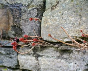 And sedum does really well growing between the crevices in stone walls. We planted this sedum six-years ago. I love how patches of bold red show through in early spring every year.