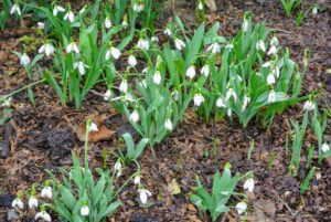 There are bunches of snowdrops, Galanthus nivalis, in various beds around the farm. These flowers are perennial, herbaceous plants, which grow from bulbs.